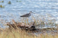 Uccello del maggior Yellowlegs Fotografia Stock