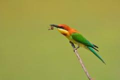 Uccello del mangiatore di ape Fotografia Stock