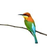 Uccello del mangiatore di ape Immagine Stock