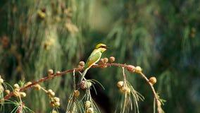Uccello del mangiatore di ape di verde giallo piccolo che si siede su un ramo Immagine Stock Libera da Diritti