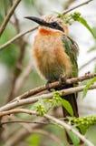 Uccello del mangiatore di ape nel parco Sudafrica del kruger Fotografia Stock