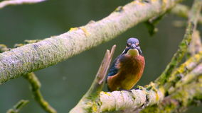 Uccello del martin pescatore che si siede su un ramo video d archivio