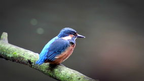 Uccello del martin pescatore che si siede su un ramo stock footage