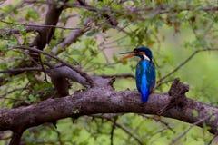 Uccello del martin pescatore che si siede sul ramo con il fondo delle foglie verdi Immagini Stock Libere da Diritti