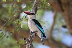 Uccello del martin pescatore del terreno boscoso Immagini Stock Libere da Diritti