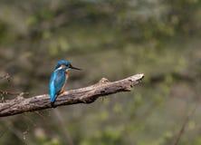 Uccello del martin pescatore fotografia stock