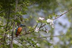 Uccello del martin pescatore fotografia stock libera da diritti