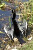 Uccello del maschio del Anhinga fotografia stock libera da diritti