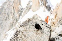 Uccello del nero del Monte Bianco Immagini Stock Libere da Diritti