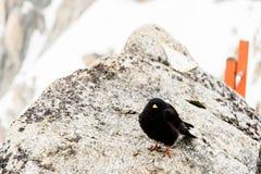 Uccello del nero del Monte Bianco Fotografia Stock