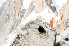 Uccello del nero del Monte Bianco Fotografie Stock