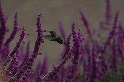 Uccello del nettare Immagini Stock Libere da Diritti