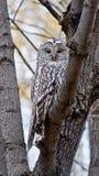 Uccello del nottambulo. Immagini Stock Libere da Diritti