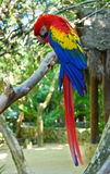 Uccello del pappagallo dell'ara Immagini Stock Libere da Diritti