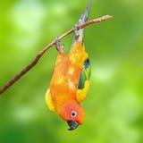 Uccello del pappagallo di conuro di Sun Fotografia Stock