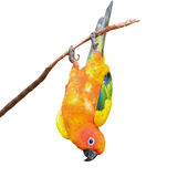 Uccello del pappagallo di conuro di Sun Fotografie Stock