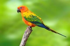 Uccello del pappagallo di conuro di Sun Immagine Stock Libera da Diritti