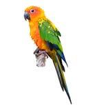 Uccello del pappagallo di conuro di Sun Fotografie Stock Libere da Diritti