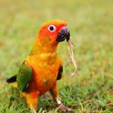 Uccello del pappagallo di conuro di Sun che mastica erba asciutta Immagini Stock