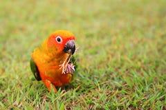 Uccello del pappagallo di conuro di Sun che mastica erba asciutta Fotografie Stock