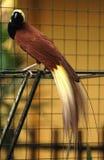 Uccello del paradiso Fotografie Stock