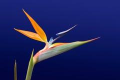 Uccello del paradiso 2 Fotografia Stock