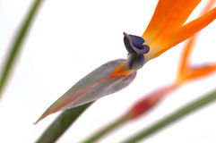 Uccello del paradiso Fotografia Stock