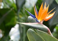 Uccello del paradiso Immagine Stock Libera da Diritti