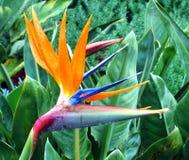Uccello del paradiso Fotografia Stock Libera da Diritti