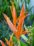 Uccello del paradiso arancione Fotografia Stock