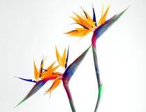 Uccello del paradiso che vola insieme fotografia stock