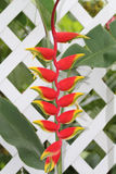 Uccello del paradiso falso su una rete fissa bianca. Fotografie Stock