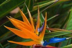 Uccello del paradiso in Loro Parque Fotografia Stock