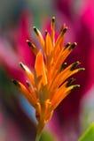 Uccello del paradiso messicano Fotografia Stock