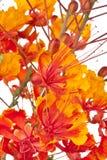 Uccello del paradiso messicano (pulcherrim di Caesalpinia immagini stock libere da diritti