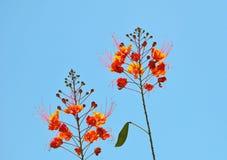 Uccello del paradiso rosso Fotografia Stock Libera da Diritti