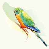 Uccello del Parakeet con le piume variopinte Fotografia Stock