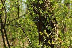 Uccello del Parus nella foresta Immagine Stock