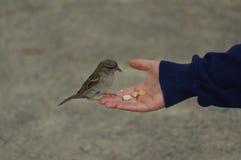 Uccello del passero che mangia pane dalla mano tesa Immagine Stock Libera da Diritti
