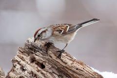 Uccello del passero di canzone appollaiato sul tronco di albero decomposto Fotografie Stock Libere da Diritti