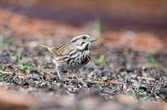 Uccello del passero di canzone, Atene, Georgia fotografia stock
