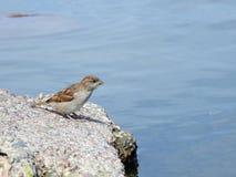 Uccello del passero, Lituania Immagine Stock
