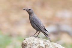 Uccello del passero solitario su roccia Fotografia Stock Libera da Diritti