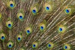 Uccello del pavone che ostenta le sue belle piume Fotografie Stock Libere da Diritti