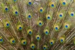 Uccello del pavone che ostenta le sue belle piume Immagini Stock Libere da Diritti