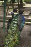 Uccello del pavone fotografia stock libera da diritti