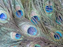 Uccello del pavone o del pavone Fotografia Stock