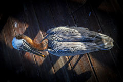 Uccello del pellicano Fotografie Stock