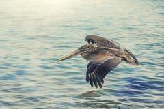 Uccello del pellicano fotografia stock libera da diritti