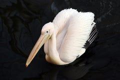 Uccello del pellicano bianco che galleggia nell'acqua scura Fotografia Stock Libera da Diritti